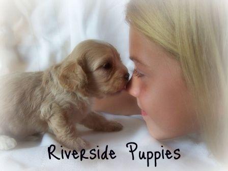 Riverside Puppies Maltipoo breeder in MO 1st generation Maltipoos