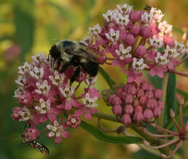 19 best images about Virginia Native Flowers on Pinterest