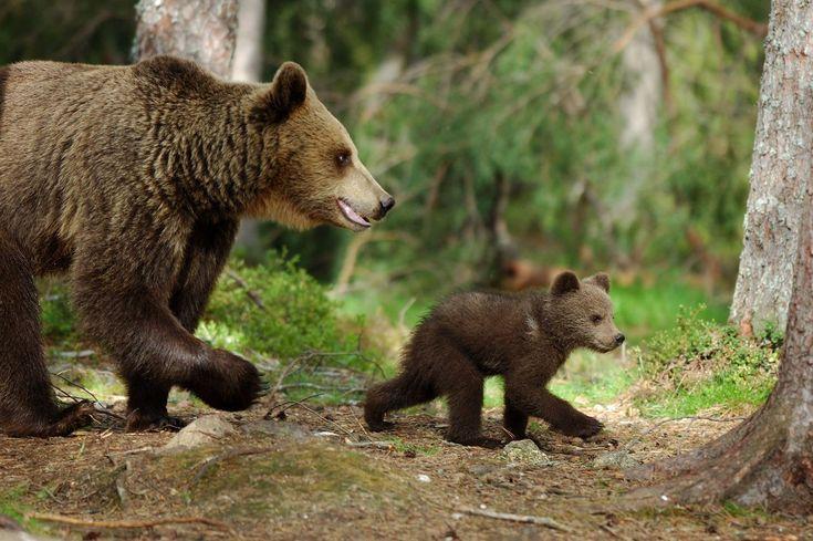 Reproduction : La période de rut s'étend de fin-avril à mi-juin. A l'instar d'autres espèces, l'ourse possède une gestation différée, c'est-à-dire que la durée réelle de gestation est très courte (8 à 10 semaines seulement). La femelle met ainsi bas 1 à 3 oursons de très petite taille (300-400 grammes environ), dans la tanière d'hibernation, au cœur de l'hiver.