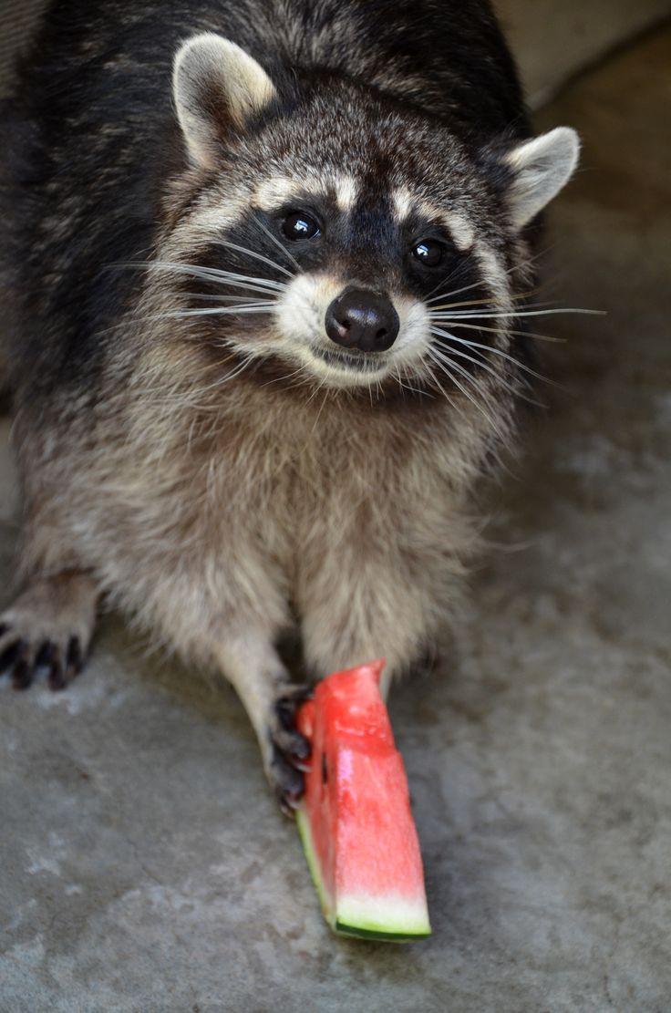 4769 best raccoons rule images on pinterest raccoons racoon