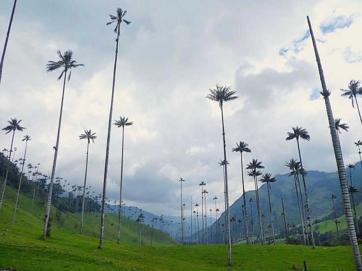 Look up and try to see where the wax palm trees reach the clouds in the Cocora Valley, a great spot in the Coffee Cultural Landscape of Colombia. Photo: @keony_travel_the_world Mira arriba e intenta ver dónde las palmas de cera alcanzan las nubes en el Valle del Cocora, un excelente lugar en el Paisaje Cultural Cafetero de #Colombia. #Travel #Amazing #Backpacker #Tourist #Tourism #Landscapes #IgersColombia #Colombia_GreatShots #Instatravel #Travelgram #PicOfTheDay #WanderLust…