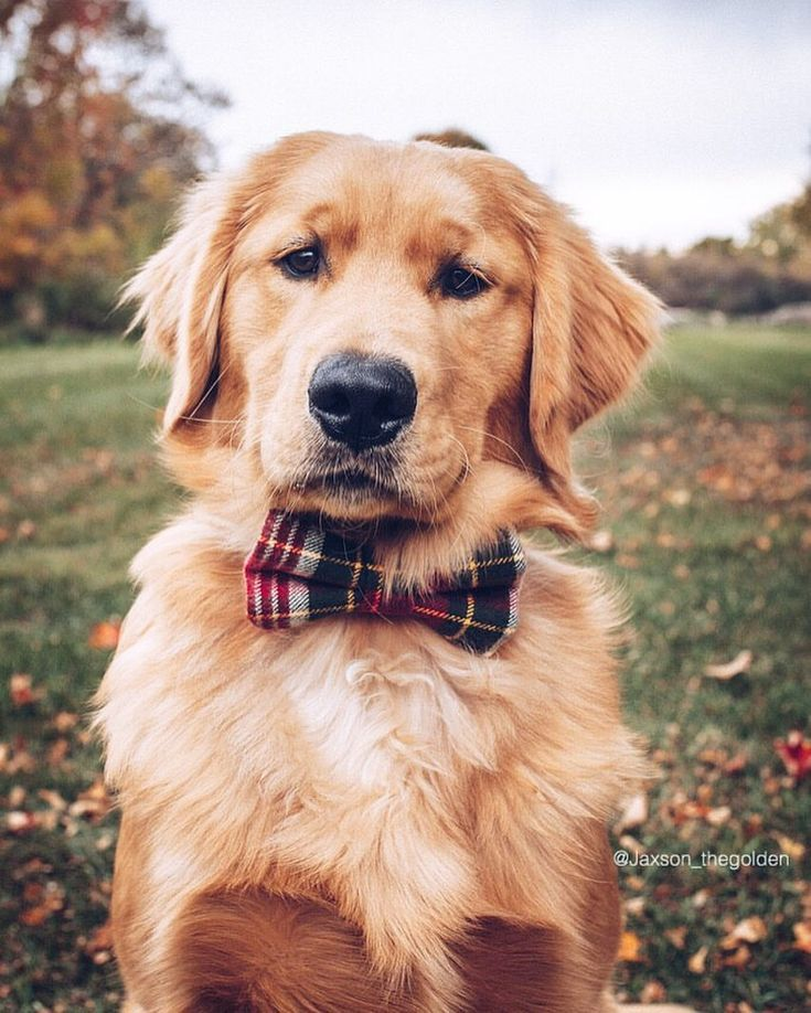 Golden Retriever Puppy In Bowtie Golden Retriever Dogs