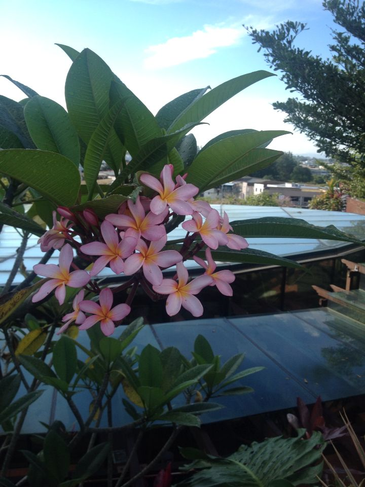 The stunning frangipani .. Looks amazing on the tree as well as a few casually floating in a centre piece bowl in middle of the table. So easy to grow also