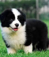 Image result for grey border collie puppies