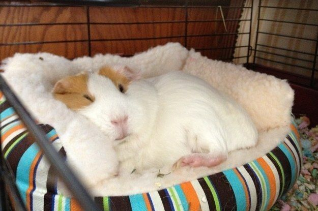 26+Guinea+Pigs+Who+Will+Make+You+Smile+The+Most