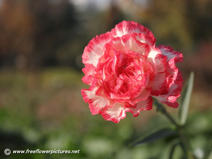photos of carnation flowers | Click the above thumbnail to view Large images of carnation flowers