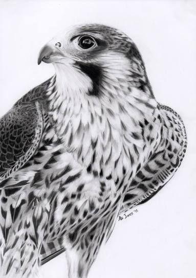 Peregrine Falcon by Abigail Jones