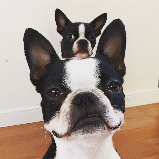 Pin by Lady J on .woof. in 2020   Boston terrier funny ...