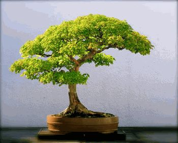 No Room For A Full Size Tree How About This Tiny Japanese Maple Bonsai Tree Bonsai Trees Are A Growing Trend In The Usa And Make An Excellent Home Decor