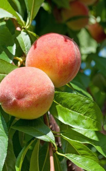 Pfirsich – Vom Anbau, über die Ernte bis hin zur Vermehrung. Hier erfahren Sie alles rund um die süße Frucht.