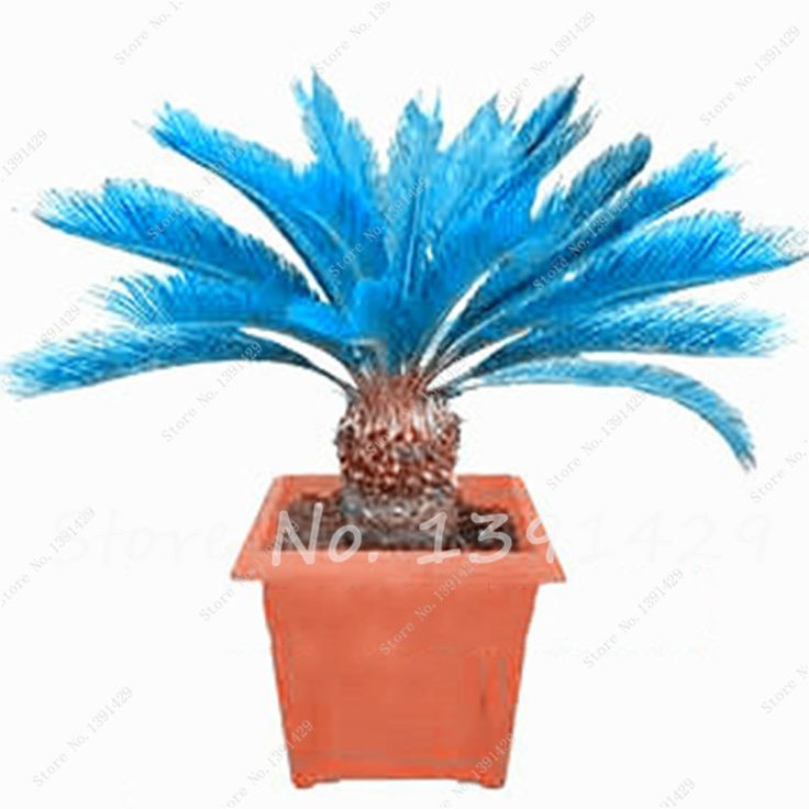 100pcs blue Cycas seeds, mini Sago Palm Tree seeds.bonsai flower seeds, budding rate 97% rare room potted plant for home garden  #Affiliate