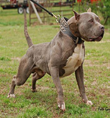 Pitbull Mix With Dogo Argentino Presa canario pit bull mix