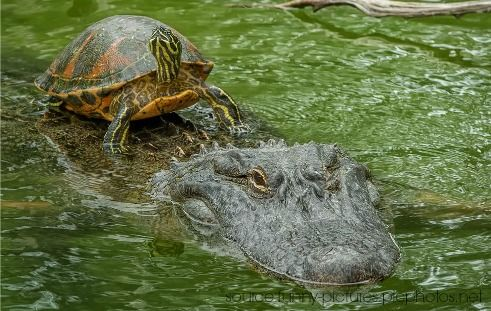 Alligator Taxi Service to a Tortoise in the River - Unlikely Friendships