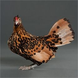 This is the Golden Spangled Hamburg. Prolific egg-layers AND a rather pretty bird.