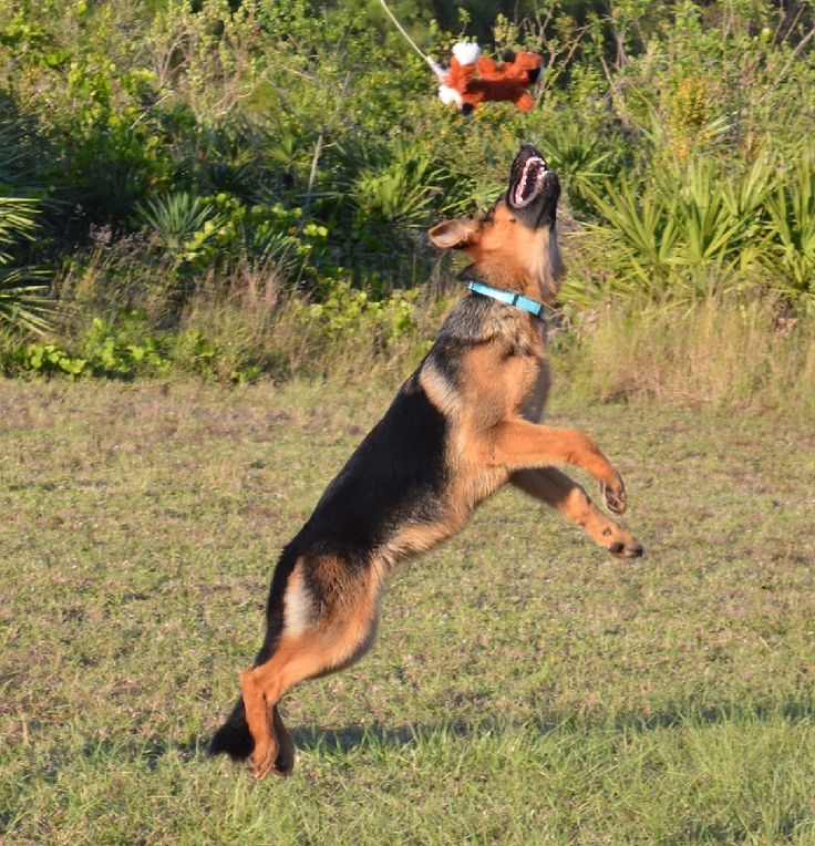 Brave Familiar And Intelligent 10 German Shepherd Puppies Available In Florida If You Intere German Shepherd Breeders German Shepherd Puppies German Shepherd