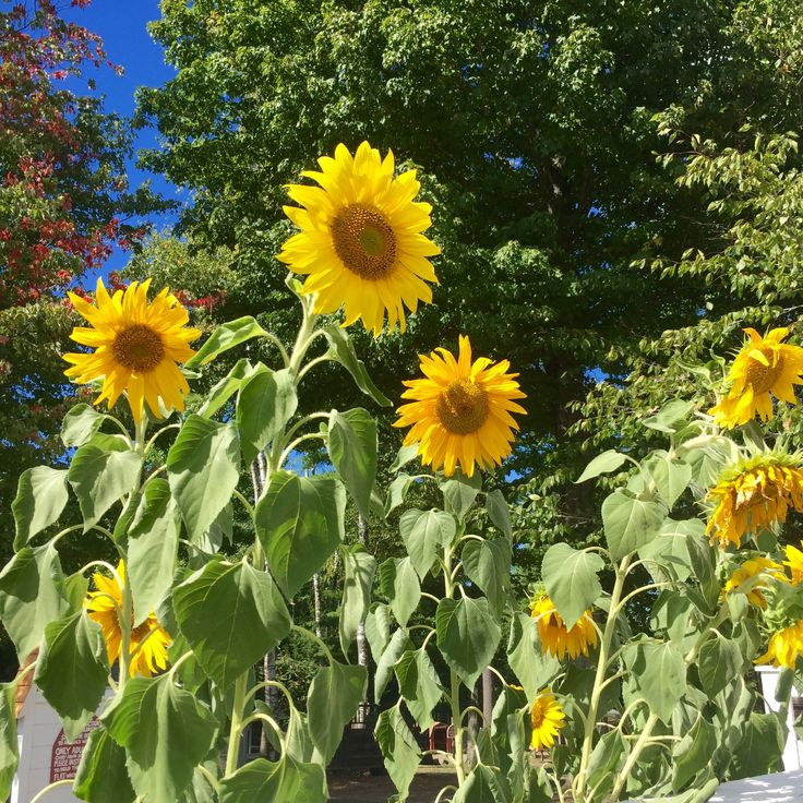 683 best sunflowers images on pinterest sunflowers city and flowers sunflowers in maine fandeluxe PDF