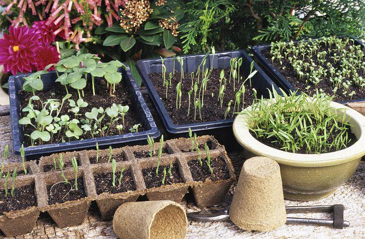 Pour un jardinier amateur, faire ses semis est une vraie étape « initiatique ». Voici tout ce qu'il faut savoir pour passer « chef semeur » avec succès… Récolte des graines, stockage des graines au sec avant de démarrer les semis. Choix des bons contenants et du terreau adapté au semis. Une fois les graines en terre, protéger les semis, les arroser et les exposer à la bonne lumière pour obtenir des plants vigoureux. Autant de techniques faciles à mettre en œuvre pour des semis réussis et des…