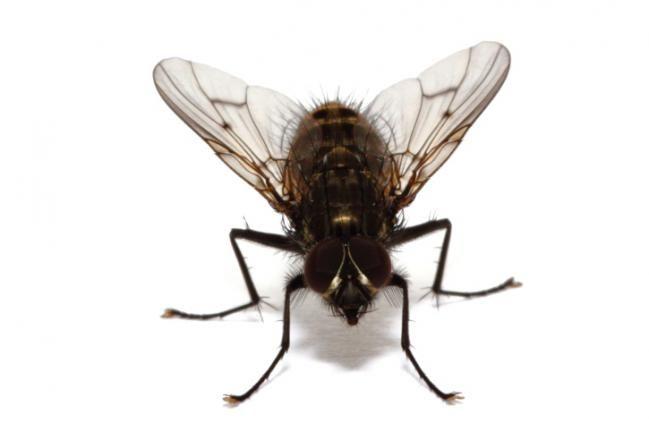 Si hay insectos que son antihigiénicos y capaces de causar enfermedades a los humanos son las moscas, las cuales son muy molestas cuando se come al aire libre. Pero tratar de eliminarlas con los insecticidas es peor ya que, a la larga, dañan la capa de ozono y su olor es pestilente. Sin embargo, u