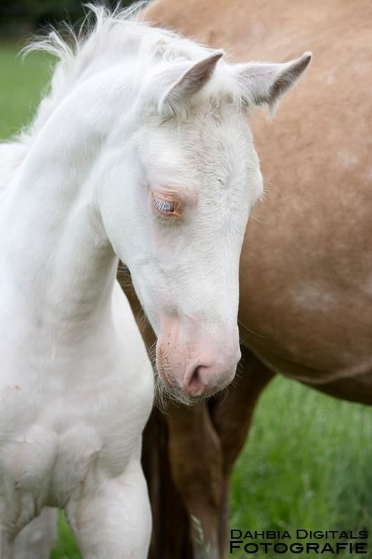 Beautiful Foal True White Horse Because Of Its Pink Skin