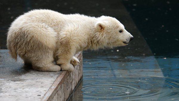 """Белые медвежата в Московском зоопарке впервые выбрались из """"берлоги"""".  Им  по  три  месяца.  Пока  они  немного  грязноваты: мать  не  подпускает  их  к  воде."""