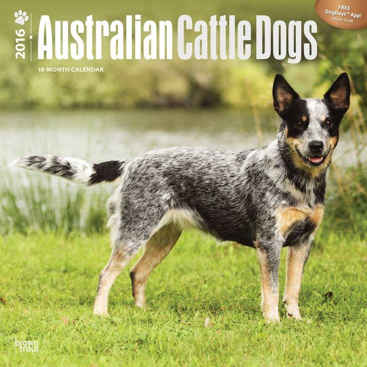 Australian Cattle Dog Calendar 2016