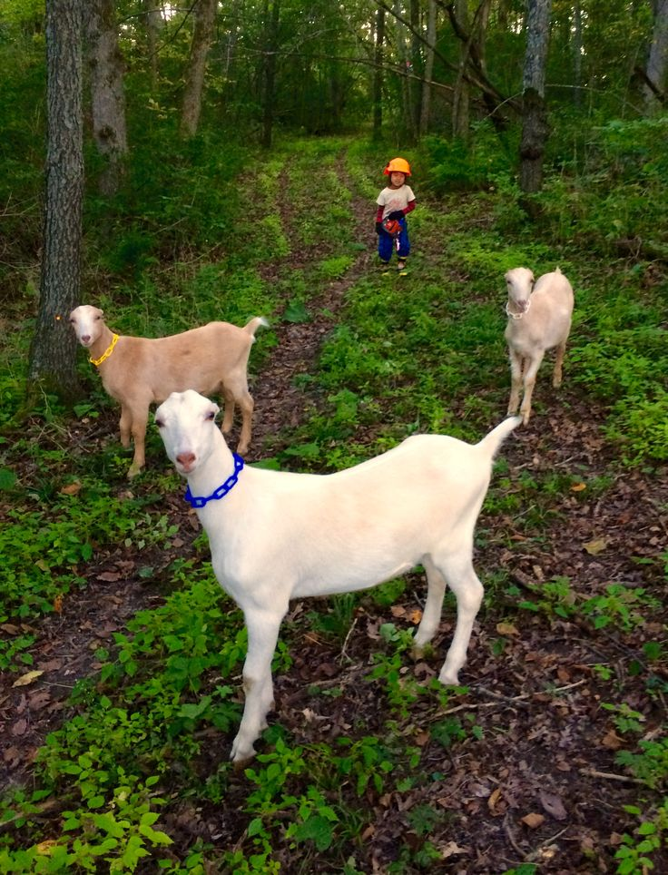 84 Best Images About Brush Goat Herdin On Pinterest