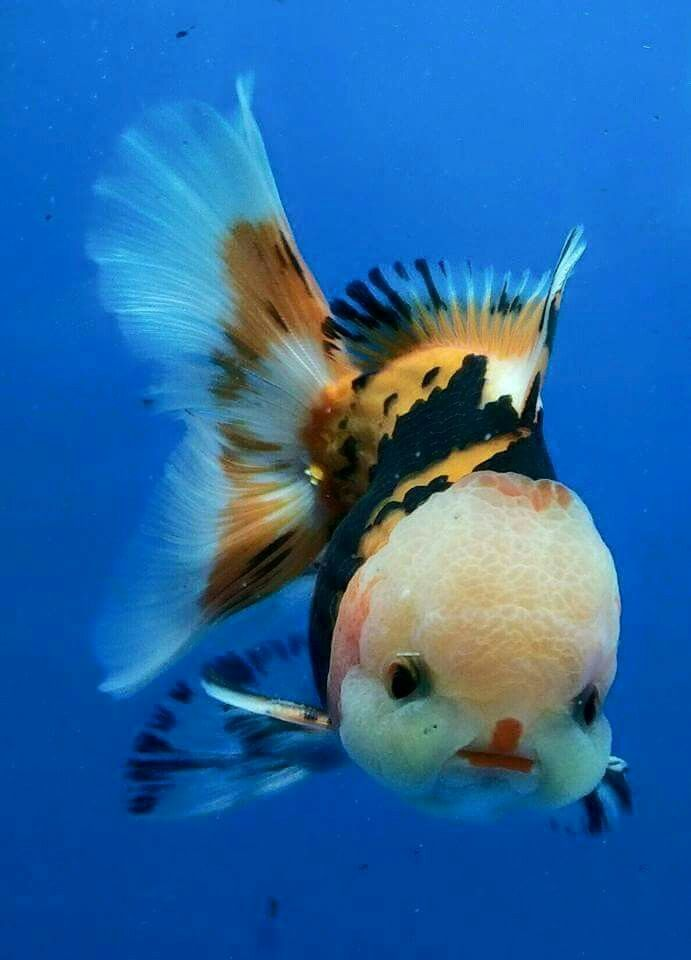 25 best goldfish ideas on pinterest for Cute names for fish