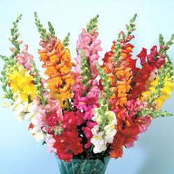 My Grandma always had a bouquet of SNaPDraGoNS on her dining room table.
