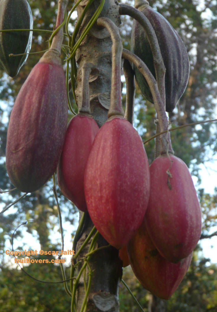 Papayuelo: Rare Fruit Seeds and Exotic Tropical Fruit Seeds
