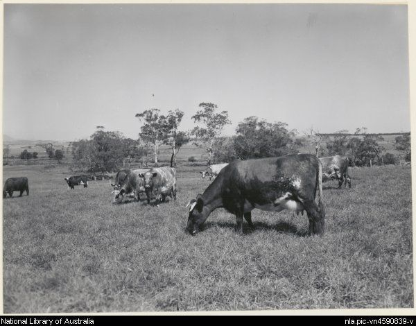 Shorthorn Dairy Herd Lubra Bend at Yarra Glen, Victoria 1963, (1) [picture].