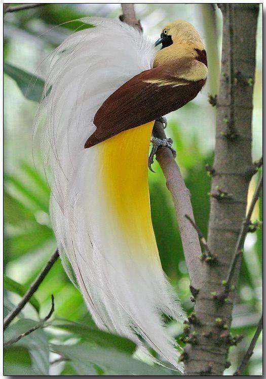 Cendrawasih / Lesser Bird of paradise  Beth.W