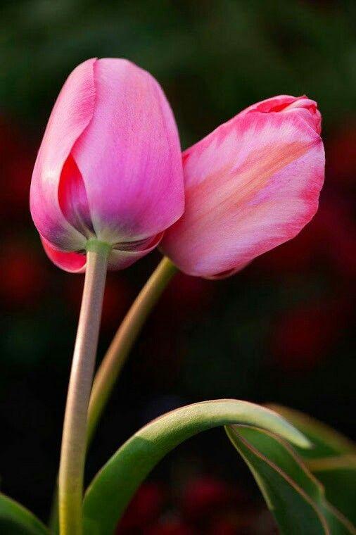 cute tulips pink flowers - photo #17