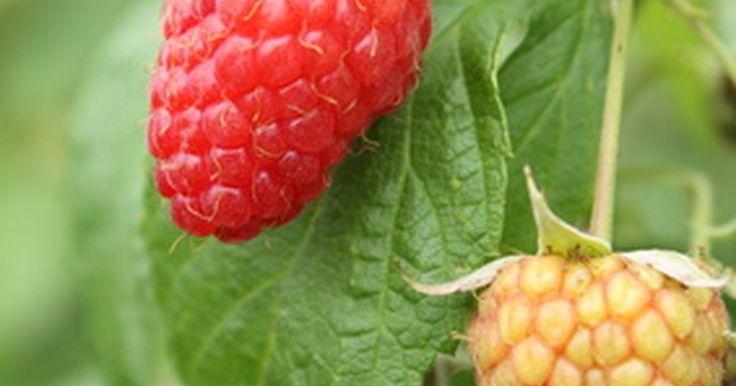 Framboesas crescem bem em vasos e produzem uma colheita abundante no início do verão. Você pode começar a cultivar suas plantas de framboesa na primavera, quando poderá colocá-las ...