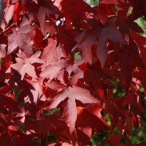 19 best images about nombres rboles on pinterest trees for Arboles de hoja caduca