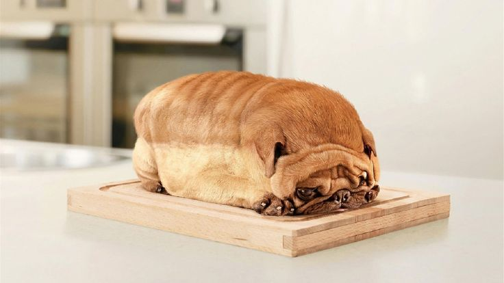 This pug, who is bread. - Imgur