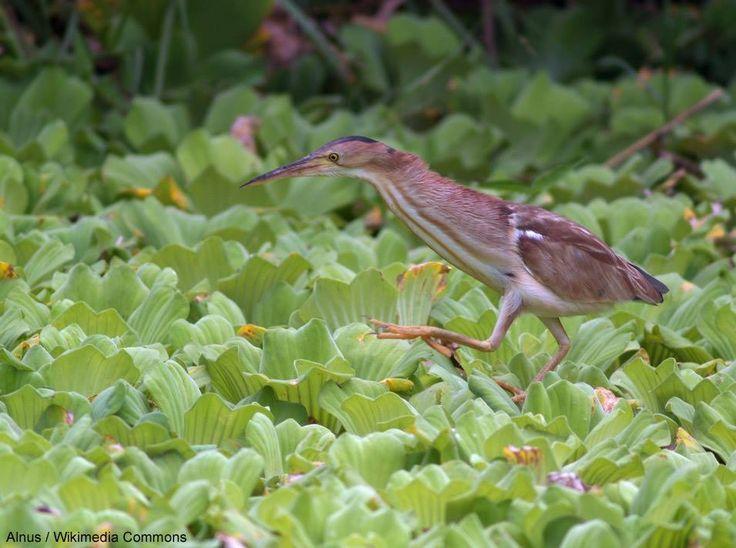 Découverte d'une population de Blongios de Chine en Égypte |  Plusieurs nids de cette espèce asiatique ont été trouvés dans des mangroves de la région d'Hamata, sur la côte de la Mer Rouge (photo : Alnus / Wikimedia Commons prise à Taïwan).