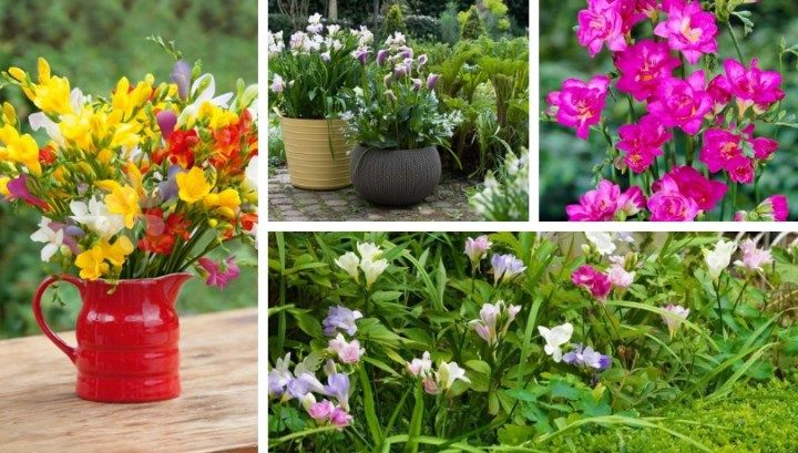Freesia A Fragrant Flower For Your Garden Most Beautiful Flowers Beautiful Flowers Garden