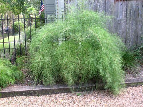 Bamboo Grass, Muhlenbergia dumosa