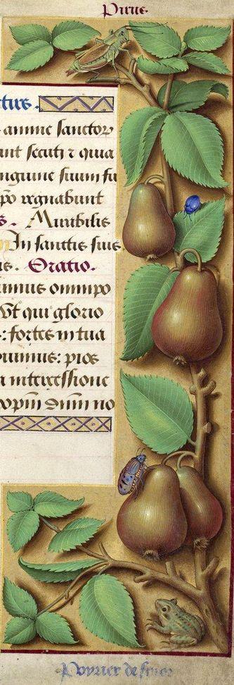 Poyrier de fin or - Pirus (Pyrus communis L. = variété de poire) -- Grandes Heures d'Anne de Bretagne, BNF, Ms Latin 9474, 1503-1508, f°172r