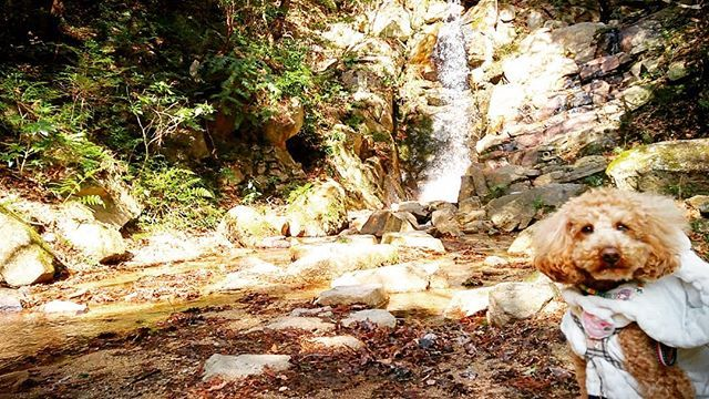 僕、#水怖い けど #山の中 は#好き ❤  #滝  今日は#雨が降りそう だけど #暖かくなってきた ので #晴れ間 の#山道 は#散歩 が#楽しい 🎵  #愛犬 #モコ 2歳 7キロ#トイじゃない #トイプードル #デカプー #デカプードル #イヌスタグラム #dogstagram #犬バカ部 #モコモコ部 #ふわもこ部 #ワンコなしでは生きて行けません会 #ワンコ #犬好きな人と繋がりたい