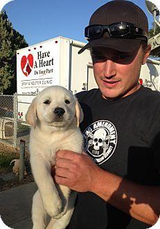 Temecula, CA - Golden Retriever/Labrador Retriever Mix. Meet Stetson, a puppy for adoption. http://www.adoptapet.com/pet/15647788-temecula-california-golden-retriever-mix