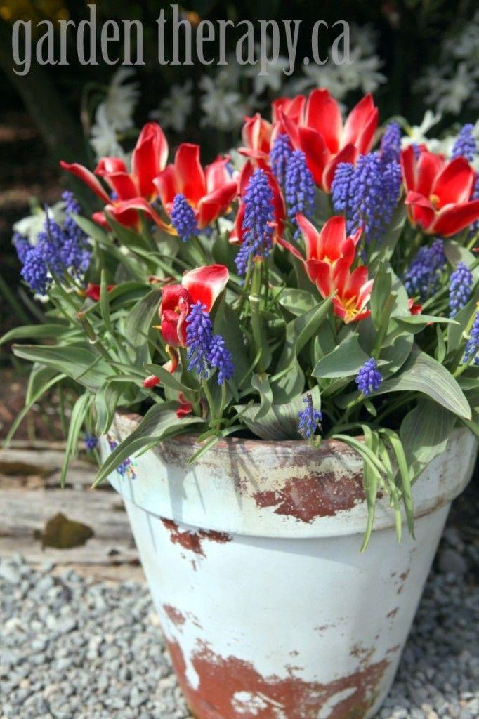 Preparing Fall Bulb Planters for Spring - Grape Hyacinth and Tulip Planter