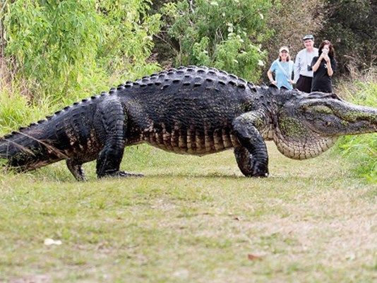 POLK COUNTY, Fla. -- Not much can be considered more 'Florida' than a gator crossing a path, or even the road in many cases.