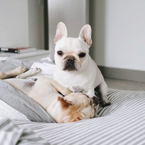 Piggy and Polly, French Bulldogs❤ @piggyandpolly on Instagram