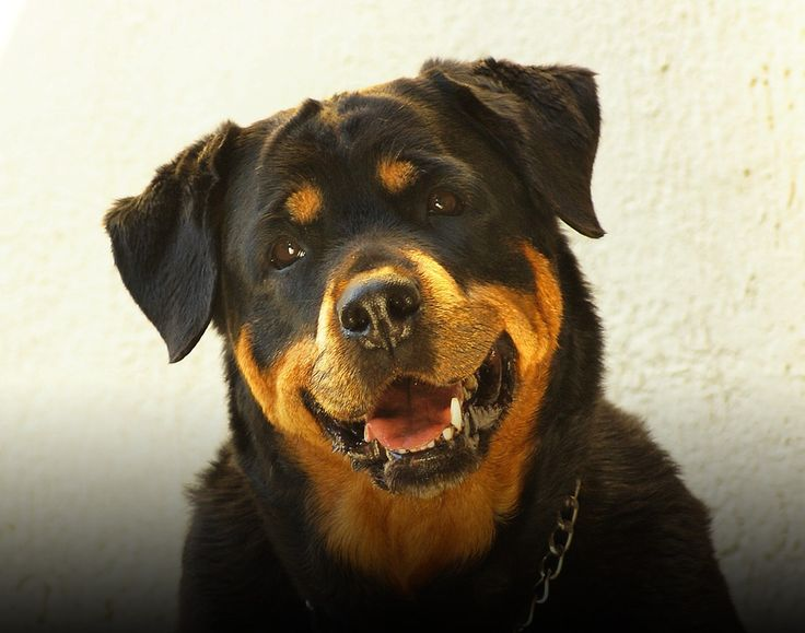 Dog Breeds: Rottweiler temperament and personality - Dogalize