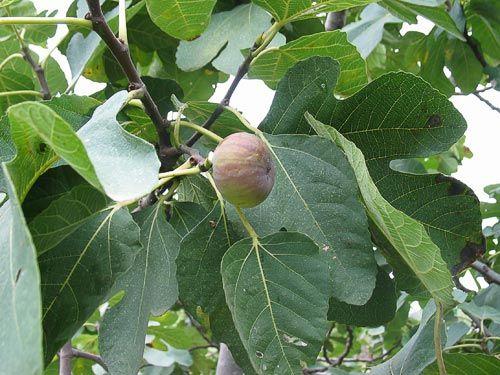 Fig (Ficus carica L.), Joel 1:7