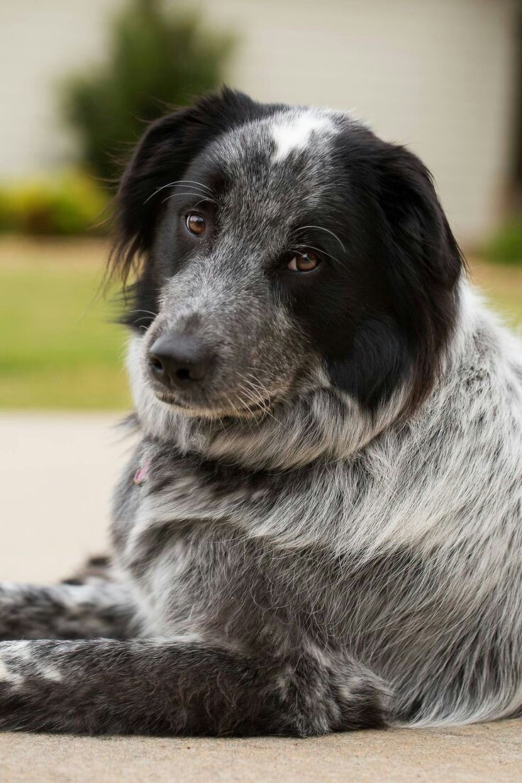 Great Pyrenees Blue Heeler Mix Great Pyrenees Dog Australian