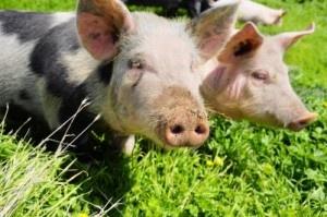 Über Grammeln und Schmalz und über das Schwein, das Lebensmittel mit Genuss.  Grammeln und Schmalz - http://www.dieweinpresse.at/grammeln-schmalz-schweinefleisch/