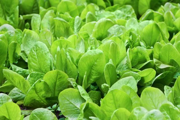 Szpinak to niskokaloryczne warzywo