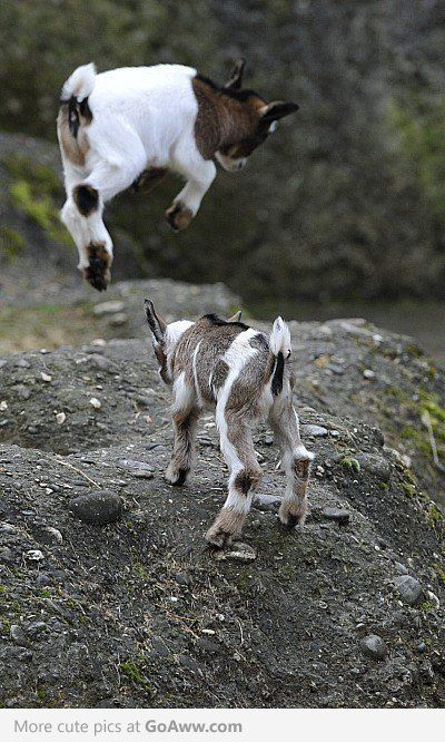 Buying a Pygmy Goat: Questions A Buyer Should Ask, from National Pygmy Goat Association. (Click through; pic from elsewhere.)